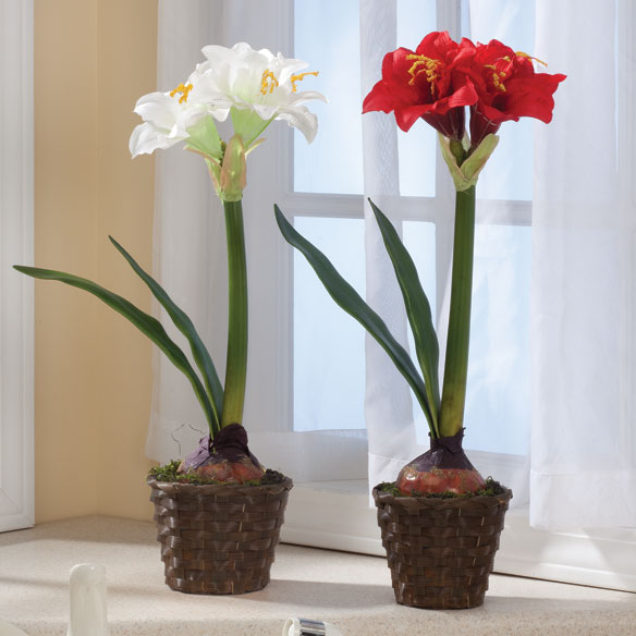 Potted Amaryllis - View 1